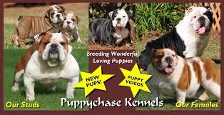 black tri bulldog puppy breeder