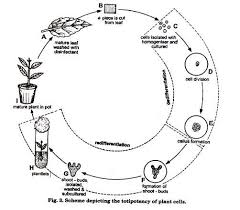 essay on plant tissue culture history methods and application scheme depiciating the totipotency of plant cells
