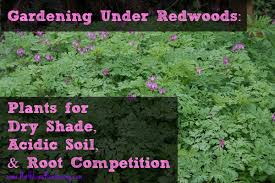 Small Picture Gardening Under Redwoods Dealing With Dry Shade Acidic Soil and