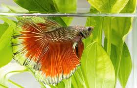 Betta Fish Care Instructions Lovetoknow