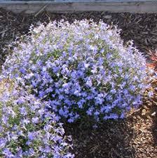 Image result for Blue lobelia