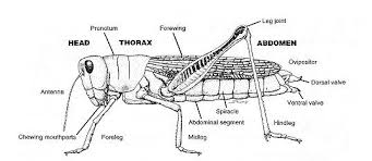 similiar cricket parts labeled keywords these are the body parts of a cricket crickets insert