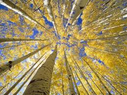 Image result for quaking aspens