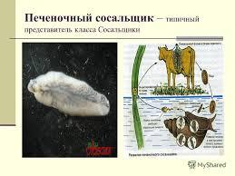 Печеночный сосальщик характеристика и строение Зоология  Печеночный сосальщик доклад 7 класс