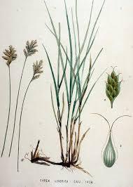 File:Carex ligerica — Flora Batava — Volume v19.jpg - Wikimedia ...
