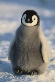 baby penguin. Beautiful Penguin Baby Emperor Penguin In
