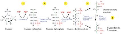 Glycolysis Cellular Respiration Biology Article Khan Academy
