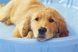 golden retriever puppy in bath