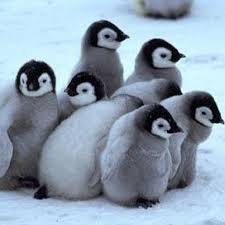cute penguins. Simple Penguins Too CUTE Penguins For Cute Penguins P