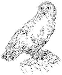 Small Picture Snowy Owl CascadesRaptorCenterorg