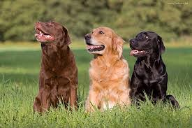 chocolate golden retriever. Simple Chocolate And Of Course I Know A Few You Have The Best Both Worlds And  One Each  Others Gone For Twofer Two One Lab Golden  Intended Chocolate Retriever