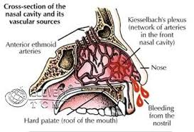 Image result for blood vessels in the nose.