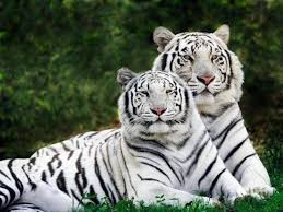 baby white tiger. Modren Tiger Cute And Amazing Baby White Tiger With