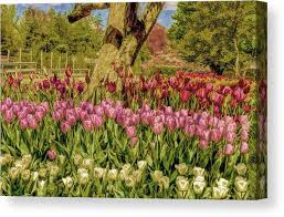 tulip bed canvas print featuring the photograph tulip bed at longwood gardens in pa by geraldine