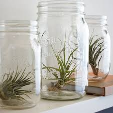 Air Plants in Mason Jars. So easy to do and looks cool. No instructions