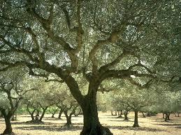 olive gardens olive oil olive tree provence france holy land scripture