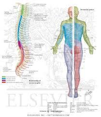 Dermatomal Pattern Fascinating Spinal Nerves And Sensory Dermatomes
