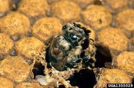 Fact Sheet Varroa Destructor Mite 327