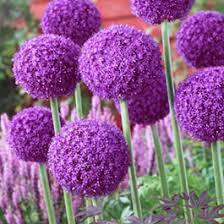 average american flower size flower bulbs fall flower bulbs spring flower bulbs american meadows