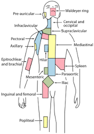 List Of Lymph Nodes Of The Human Body Wikipedia
