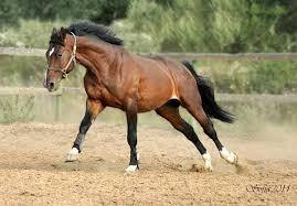 Стили верховой езды обучение лошади европейский стиль верховой  Ганноверская лошадь фото воспитание лошадей фотография