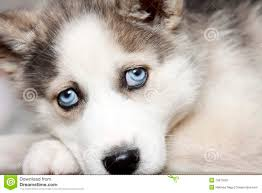 red husky puppy blue eyes. Plain Red Blue Eyes Of Cute Siberian Husky Puppy For Red Husky Puppy Eyes 0