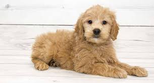 Goldendoodle Size Chart Goldendoodle The Golden Retriever Poodle Mixed Breed