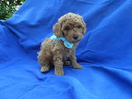 beautiful and healthy super fluffy toy poodle puppies they all have silky soft fur these es