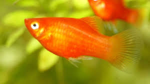 Platy Compatibility Chart Platy Fish The Complete Care Guide Fishkeeping World
