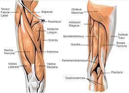 Upper Leg Muscle Chart Anatomy Of Leg Muscles And Tendons Muscle Anatomy Upper Leg