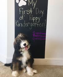 Bernedoodle Puppy Puppy Kindergarten Sable Doodle Puppy
