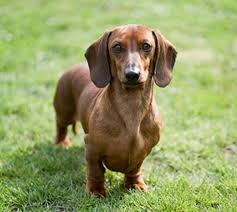 Dachshund (Min. Smooth Haired)   Breeds A-Z   Kennel Club