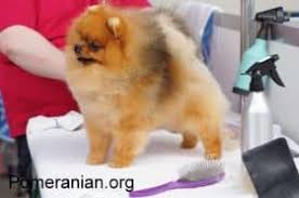 Pomeranian Weight Chart