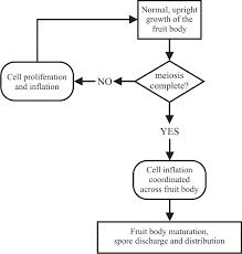 Endomembrane System Flow Chart Gravitropism As A Morphogenetic Model