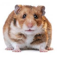 petsmart hamsters black and white. Fancy Bear Hamster On Petsmart Hamsters Black And White