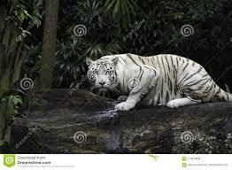 22,399 Tiger Jungle Photos - Free ...