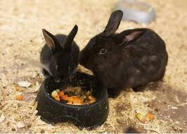 What To Feed Baby Rabbits Rabbit Care Tips