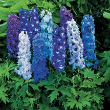 DELPHINIUMS, absolute monarch of the                         garden