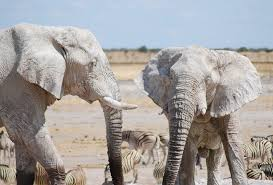 white elephant animal.  Animal White Elephants In Elephant Animal W