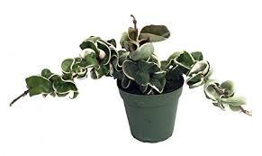Variegated Hindu Rope Plant - Hoya - 4 Inch Pot