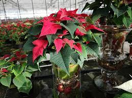 Mdr Garten 1111 Weihnachtsstern Dekoration Mdrde