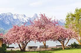 plant cherry blossom trees