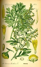artemisia. wormwood (artemisia absinthium)-extracts-red moon herbs artemisia