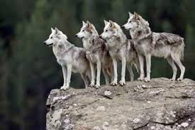gray wolf pack playing. Contemporary Playing See More Wolf Pictures And Gray Wolf Pack Playing