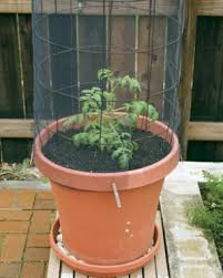container gardening tomatoes. Unique Container Find The Right Container Intended Container Gardening Tomatoes A