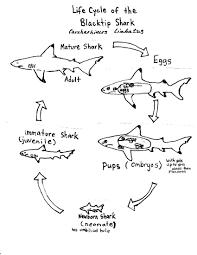 Diagram great white shark diagram for great white shark diagram 45jwn