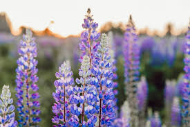 Flower field sunset Lavender Purple Petaled Flowers During Daytime Unsplash 500 Flower Field Pictures hd Download Free Images On Unsplash