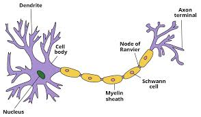 Ultrastructure Of Nerves Classification Neurones