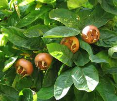 Medieval Medlars Get To Know And Grow This Unusual Fruit ⋆ North Medley Fruit Tree