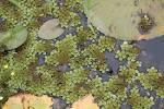 water fern